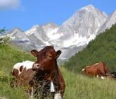 Infangl - Kühe