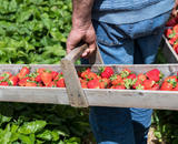M.E.G. Erdbeeren